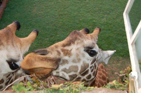 Giraff Manor, отель с жирафами