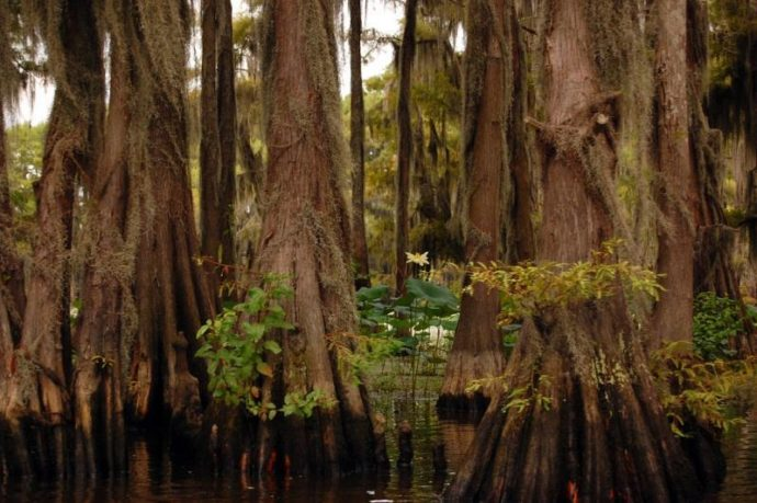кипарисы озера Каддо, озеро Каддо,кипарисы Техаса, куда поехать на выходные