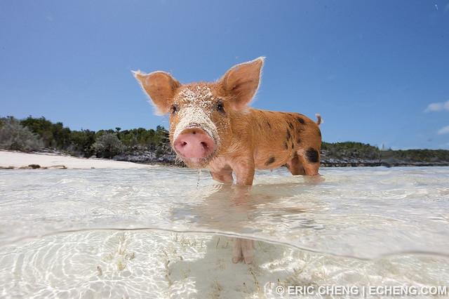 биг мэйджор кэй, биг мэйджор кэй как добраться, плавающие свиньи на багамах видео, куда поехать на выходные, остров свиней, плавающие свиньи