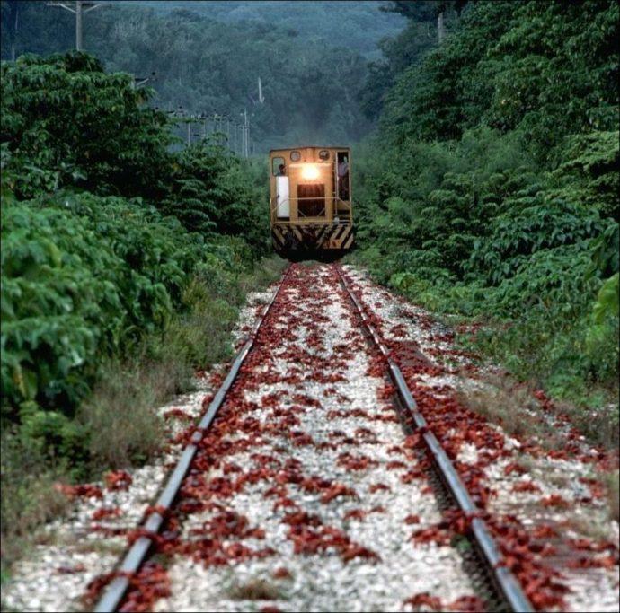 миграция красных крабов, миграция красных крабов на острове Рождества, куда поехать на выходные Австралия,, куда поехать на выходные остров Рождества
