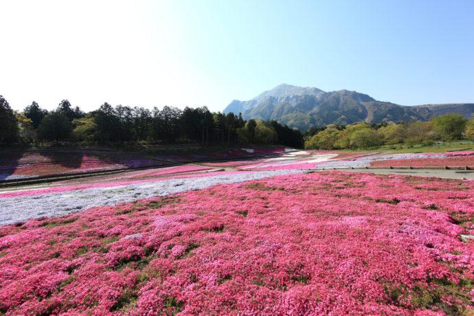 Куда поехать на выходные, интересные места планеты, куда слетать на выходные в Японию, Парк Такиноуэ Япония, цветение шибазакуры, фестиваль шибазакуры парк  Такиноуэ Япония