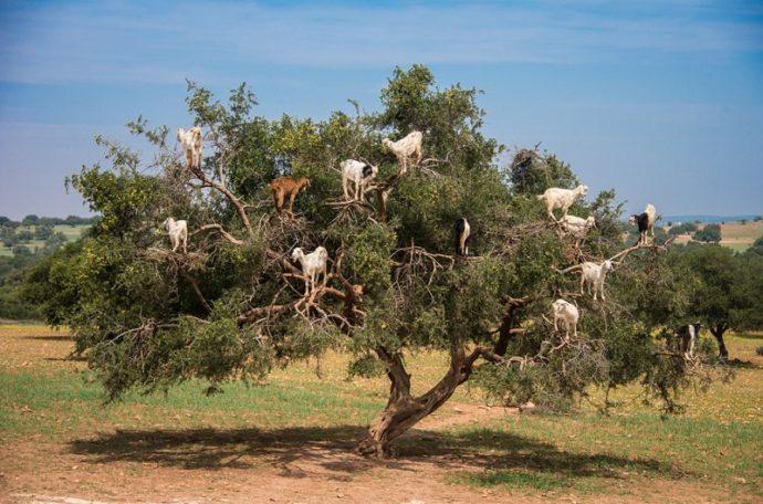 Козы на деревьях, куда поехать на выходные в Марокко, отдых в Марокко, что посмотреть в Марокко
