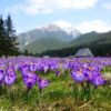 куда поехать на выходные в Украине,куда поехать на выходные в Закарпатье, куда поехать на выходные в Карпаты, Долина крокусов Колочава